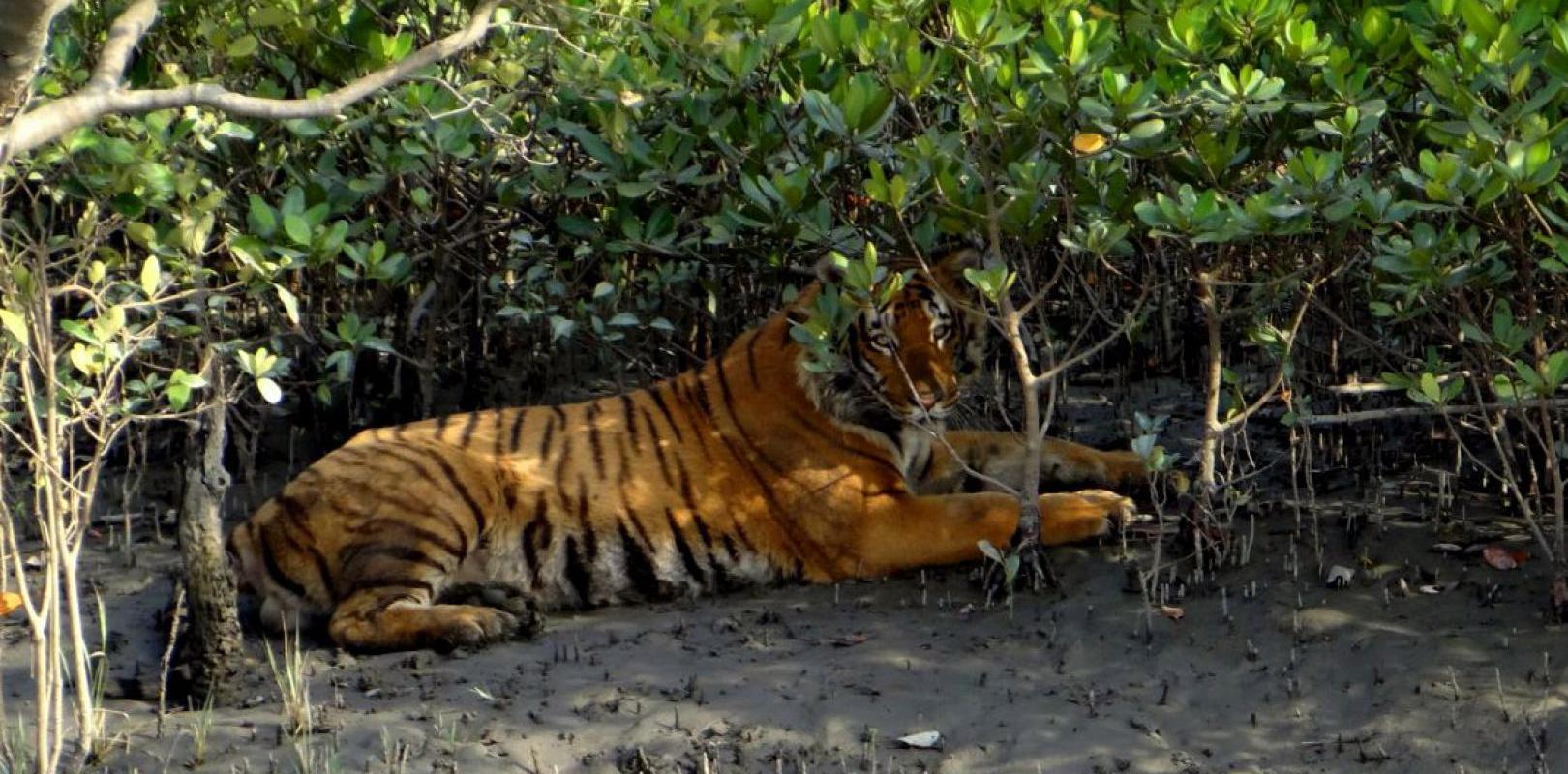Spotting a tiger in the Sunderbans National Park